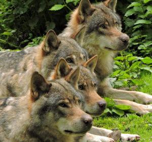 parc alpha loups