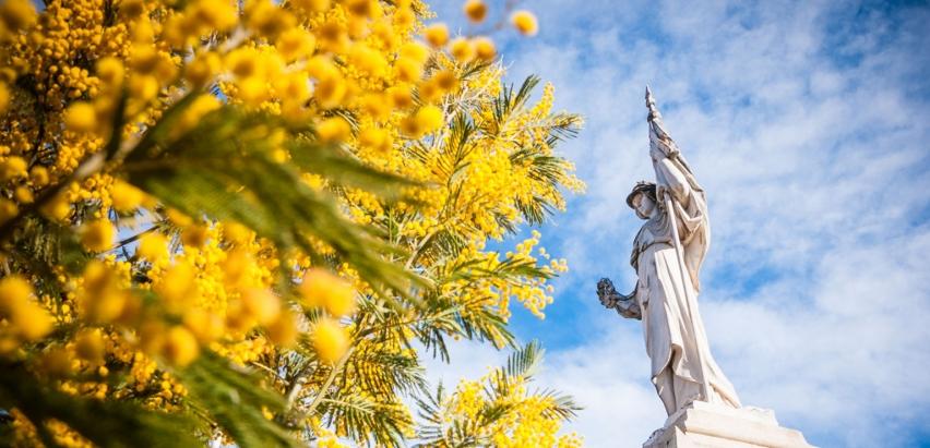 mimosa dans l'esterel