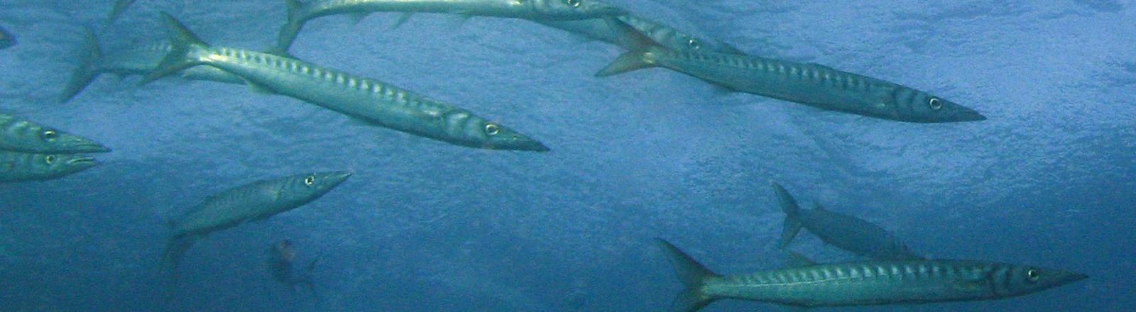poissons plongée