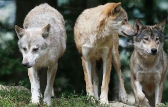 loups Parc Alpha