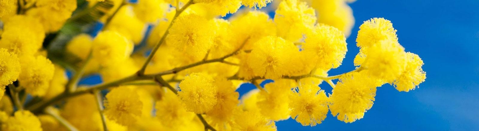 route du mimosa - evenements cote d'azur
