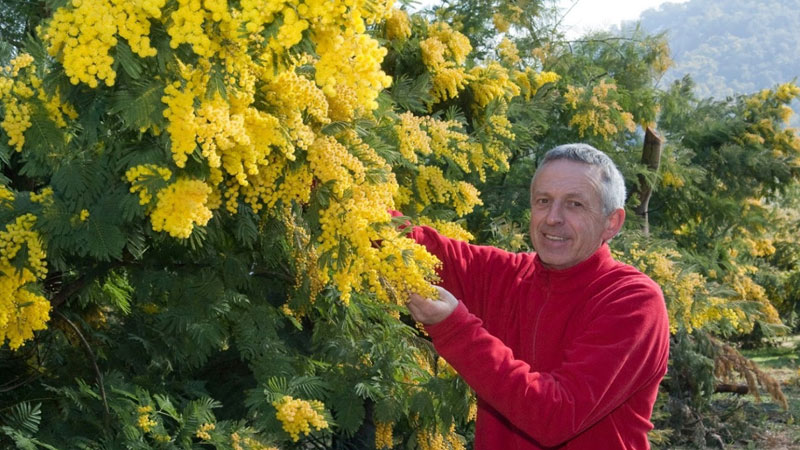blog - mimosa tanneron forcerie vial