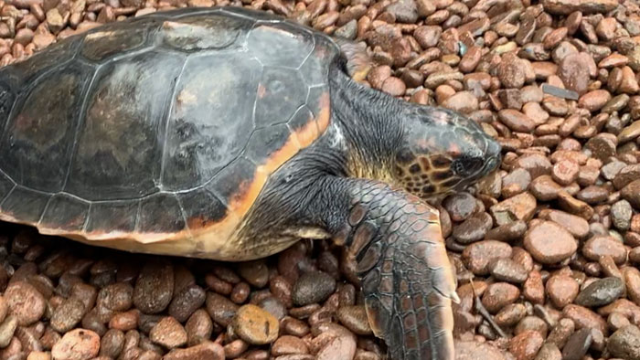 esterel tortue caouanne