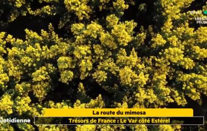 laquotidienne-mimosa
