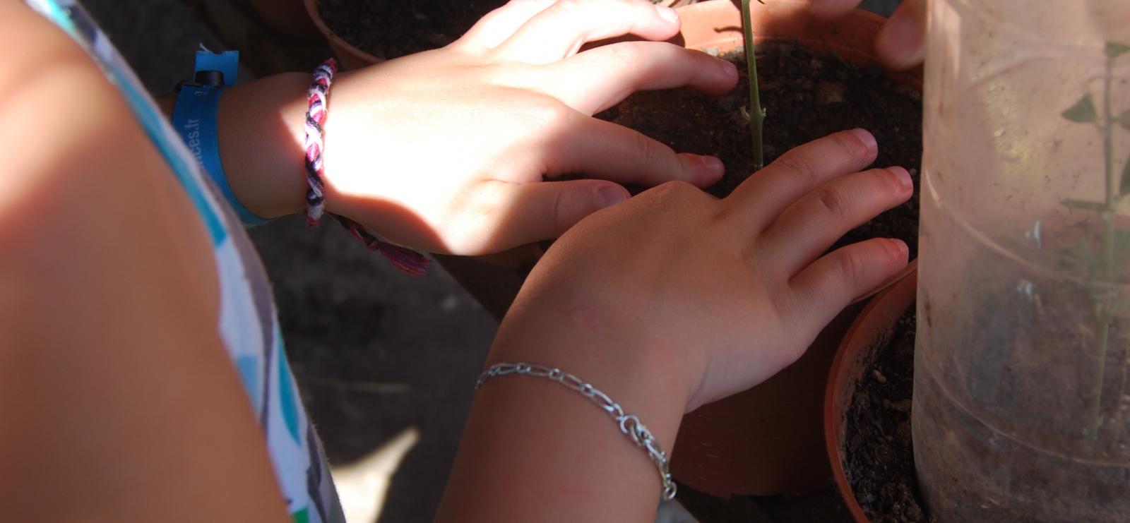 Bouturage d'olivier