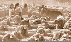 le troupeau en préparation