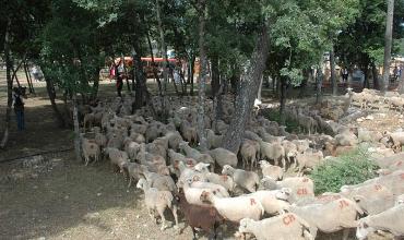 1000 têtes de bétail