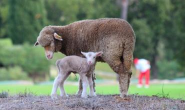 Golf de Roquebrune Resort - Moutons du Golf