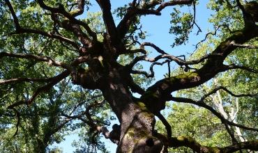 les chênes centenaires