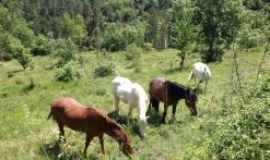chevaux en semi liberté