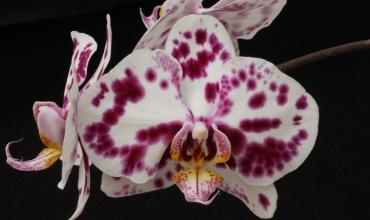 Orchidée Vacherot