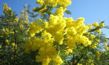 Groupes - Mimosa, fleur de l'hiver