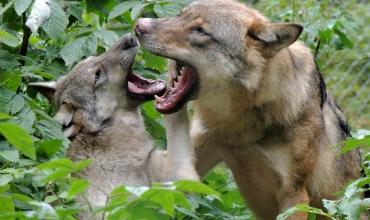 Groupes-à la rencontre du Loup
